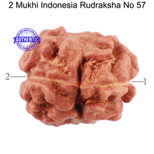 Load image into Gallery viewer, 2 Mukhi Rudraksha from Indonesia - Bead No. 57