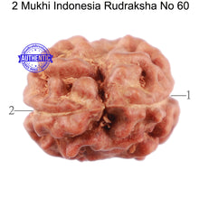 Load image into Gallery viewer, 2 Mukhi Rudraksha from Indonesia - Bead No. 60