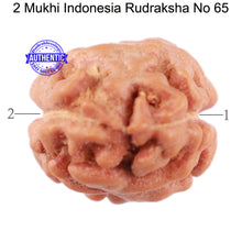 Load image into Gallery viewer, 2 Mukhi Rudraksha from Indonesia - Bead No. 65