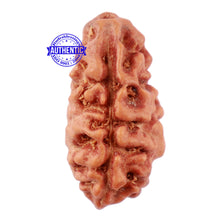 Load image into Gallery viewer, 2 Mukhi Rudraksha from Indonesia - Bead No. 67