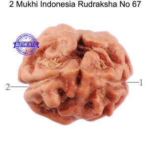 2 Mukhi Rudraksha from Indonesia - Bead No. 67