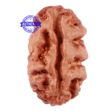 Load image into Gallery viewer, 2 Mukhi Rudraksha from Indonesia - Bead No. 74