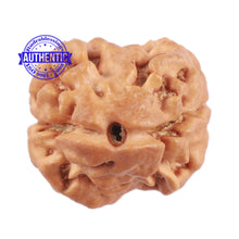 Load image into Gallery viewer, 2 Mukhi Rudraksha from Nepal - Bead No. 112