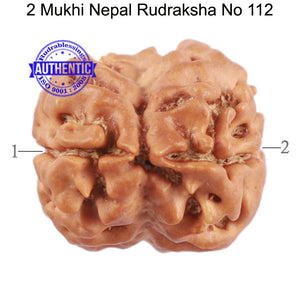 2 Mukhi Rudraksha from Nepal - Bead No. 112