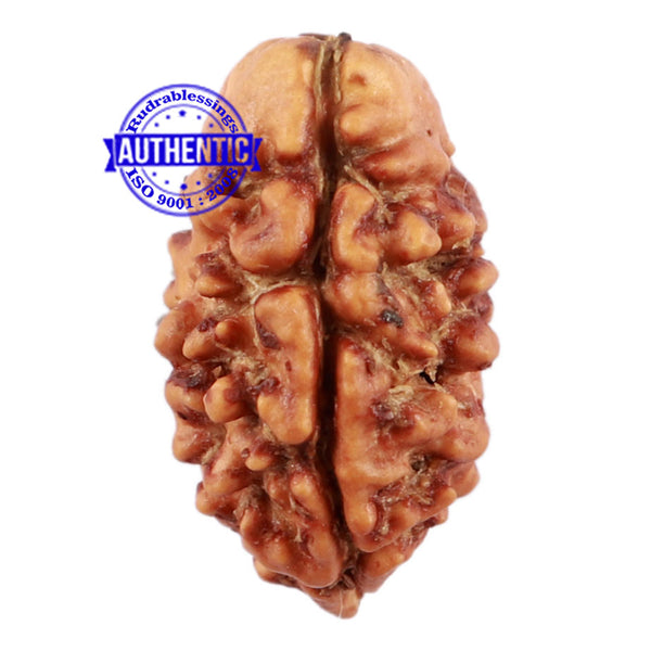 2 Mukhi Rudraksha from Nepal - Bead No. 115