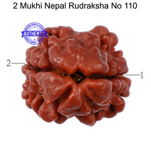 2 Mukhi Rudraksha from Nepal - Bead No. 110