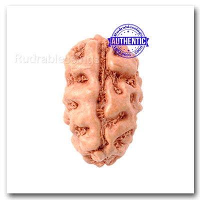 2 Mukhi Rudraksha from Indonesia  (Standard Size)