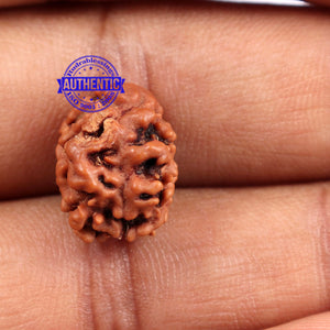 2 Mukhi Rudraksha from Nepal - Bead No. 88