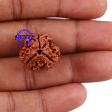 Load image into Gallery viewer, 3 Mukhi Rudraksha from Nepal - Bead No. 135