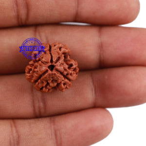 3 Mukhi Rudraksha from Nepal - Bead No. 135