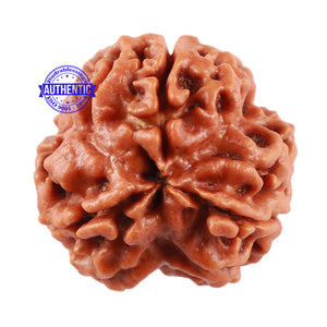 3 Mukhi Rudraksha from Nepal - Bead No. 150 (Giant Size)
