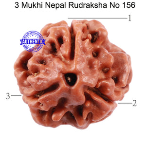 3 Mukhi Rudraksha from Nepal - Bead No. 156