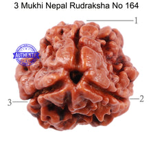 Load image into Gallery viewer, 3 Mukhi Rudraksha from Nepal - Bead No. 164