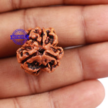 Load image into Gallery viewer, 3 Mukhi Rudraksha from Nepal - Bead No. 165