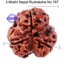 Load image into Gallery viewer, 3 Mukhi Rudraksha from Nepal - Bead No. 167