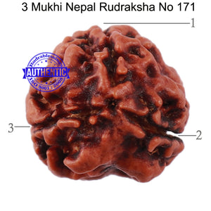 3 Mukhi Rudraksha from Nepal - Bead No. 171