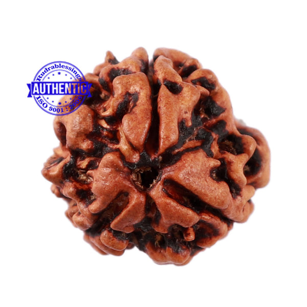 3 Mukhi Rudraksha from Nepal - Bead No. 191