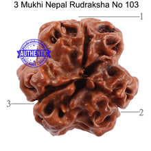Load image into Gallery viewer, 3 Mukhi Rudraksha from Nepal - Bead No. 103 (Giant Size)