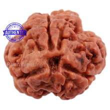 Load image into Gallery viewer, 3 Mukhi Rudraksha from Nepal - Bead No. 129 (Giant Size)