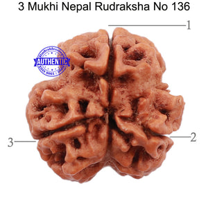 3 Mukhi Rudraksha from Nepal - Bead No. 136