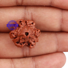 Load image into Gallery viewer, 3 Mukhi Rudraksha from Nepal - Bead No. 142