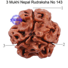 Load image into Gallery viewer, 3 Mukhi Rudraksha from Nepal - Bead No. 143