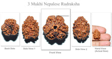 Load image into Gallery viewer, 3 Mukhi Rudraksha from Nepal (Standard Size)