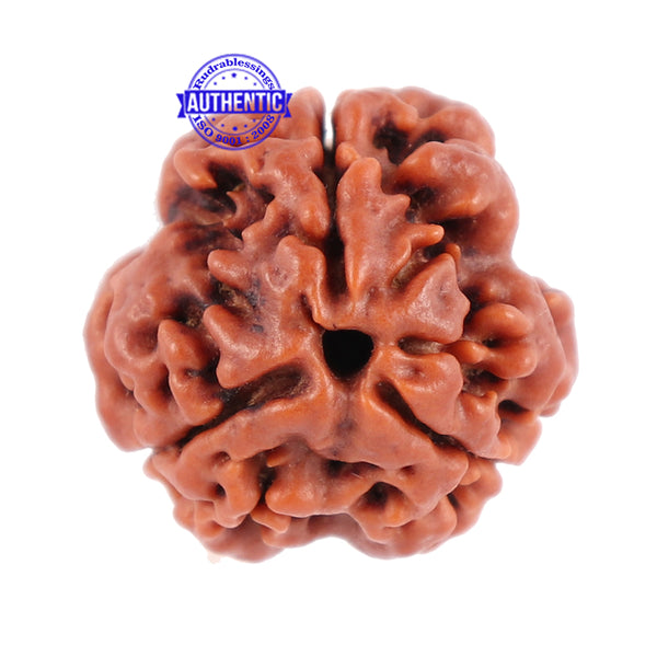 3 Mukhi Rudraksha from Nepal - Bead No. 101