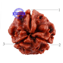 Load image into Gallery viewer, 3 Mukhi Rudraksha from Nepal - Bead No. 192
