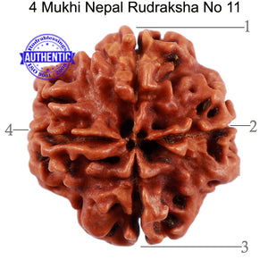 4 Mukhi Rudraksha from Nepal - Bead No. 11