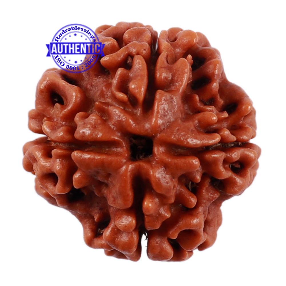 4 Mukhi Rudraksha from Nepal - Bead No. 204