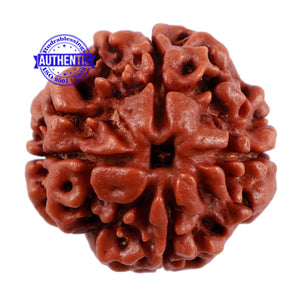 4 Mukhi Rudraksha from Nepal - Bead No. 207