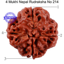 Load image into Gallery viewer, 4 Mukhi Rudraksha from Nepal - Bead No. 214
