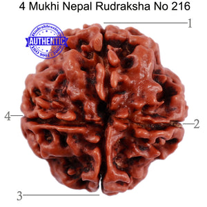 4 Mukhi Rudraksha from Nepal - Bead No. 216