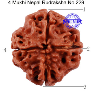 4 Mukhi Rudraksha from Nepal - Bead No. 229