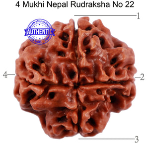 4 Mukhi Rudraksha from Nepal - Bead No. 22