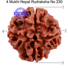 Load image into Gallery viewer, 4 Mukhi Rudraksha from Nepal - Bead No. 230
