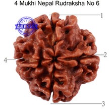Load image into Gallery viewer, 4 Mukhi Rudraksha from Nepal - Bead No. 6