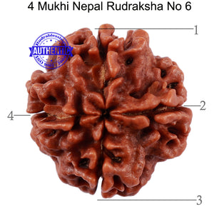 4 Mukhi Rudraksha from Nepal - Bead No. 6