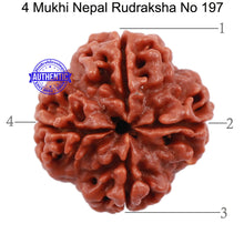 Load image into Gallery viewer, 4 Mukhi Rudraksha from Nepal - Bead No. 197