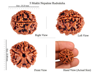 5 Mukhi Rudraksha from Nepal - Bead No. 50