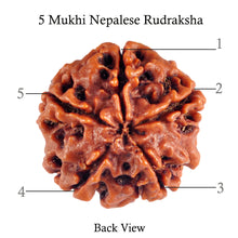 Load image into Gallery viewer, 5 Mukhi Rudraksha from Nepal - Bead No. 50
