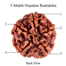 Load image into Gallery viewer, 5 Mukhi Rudraksha from Nepal - Bead No. 73