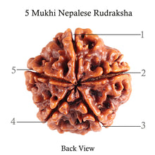 Load image into Gallery viewer, 5 Mukhi Rudraksha from Nepal - Bead No. 79