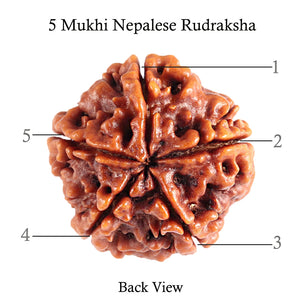 5 Mukhi Rudraksha from Nepal - Bead No. 79