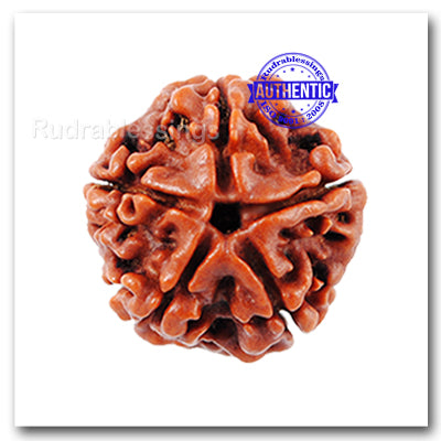 5 Mukhi Rudraksha from Nepal - Big Size