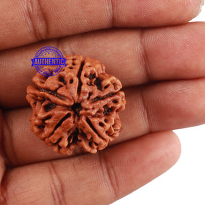5 Mukhi Rudraksha from Nepal - Bead No. 156