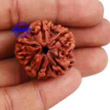Load image into Gallery viewer, 5 Mukhi Rudraksha from Nepal - Bead No. 113