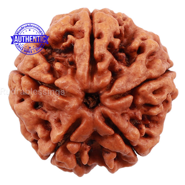 5 Mukhi Rudraksha from Nepal - Bead No. 115
