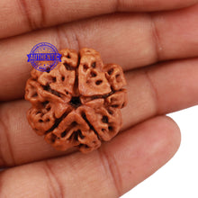 Load image into Gallery viewer, 5 Mukhi Rudraksha from Nepal - Bead No. 116